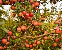 Stam och filialer av äpplet och många röda äpplen royaltyfria bilder