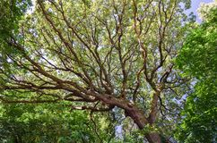 Stam och filialer av den enorma eken underifrån Arkivbild
