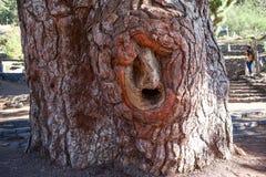 Stam van duizend-jaar pijnboom met holle en reuzekroon Millennial pijnboom is in nationaal park van Teide, Vilaflor, Tenerife, Ka Stock Fotografie