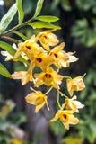 Stam van Gele die Dendrobium-Orchideebloemen in Regendruppels worden behandeld stock afbeelding