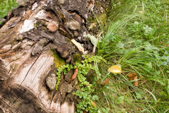 Stamb with grass. Moldering stump  with moss on a grass Royalty Free Stock Photography