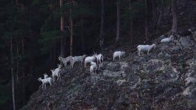 Stambecchi bianchi sulla foresta della montagna archivi video