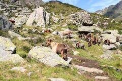 Stambecchi e mucche nelle alpi del sud del Tirolo Fotografia Stock