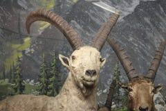 Stambecco al museo di storia naturale Fotografia Stock Libera da Diritti