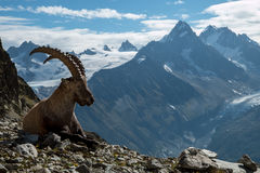 Stambecco, alpi francesi fotografia stock