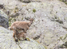 Stambecco alpino Fotografie Stock Libere da Diritti
