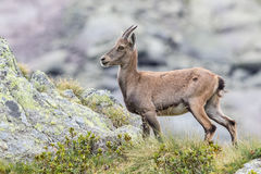 Stambecco alpino fotografia stock libera da diritti
