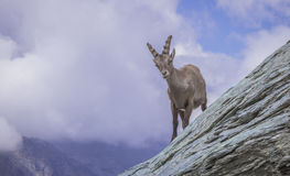 Stambecco alpino immagine stock