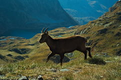Stambecco alpino (capra ibex) Immagini Stock