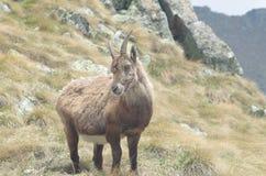 Stambecco alpino (capra ibex) Fotografie Stock
