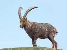 Stambecco alpino (capra ibex) Fotografia Stock