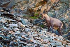 Stambecco alpino di Antler, capra ibex, con le rocce colorate nel fondo, animale nell'habitat di pietra della natura, Svizzera Immagini Stock