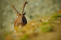 Stambecco alpino di Antler, capra ibex, ritratto nascosto dell'animale selvatico con le rocce colorate nel fondo, animale nell'ha Fotografia Stock