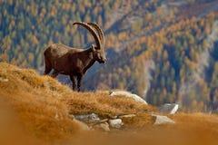Stambecco alpino di Antler, stambecco di capra ibex, animale nell'habitat della natura, con l'albero e le rocce di larice arancio immagini stock