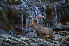 Stambecco alpino di Antler, stambecco di capra ibex, con la cascata della montagna e rocce ed acqua nel fondo, parco nazionale Gr Fotografie Stock Libere da Diritti
