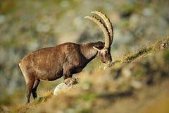 Stambecco alpino di Antler, stambecco di capra ibex, con le rocce nel fondo, parco nazionale Gran Paradiso, Italia Fotografia Stock