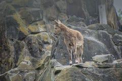 Stambecco alpino di capra ibex dello stambecco nelle montagne Fotografie Stock