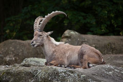 Stambecco alpino di capra ibex dello stambecco Fotografie Stock