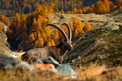 Stambecco alpino di seduta del corno, stambecco di capra ibex, con l'albero di larice arancio di autunno nel fondo, parco naziona Fotografie Stock Libere da Diritti