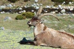 Stambecco alpino diritto Fotografie Stock