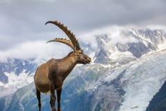 Stambecco alpino & x28; Ibex& x29 della capra; in Mont Blanc, la Francia Fotografia Stock Libera da Diritti