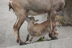Stambecco alpino & x28; Ibex& x29 di capra ibex; Immagine Stock Libera da Diritti