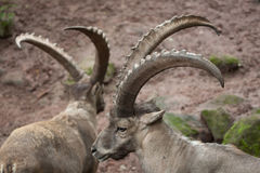 Stambecco alpino & x28; Ibex& x29 di capra ibex; Immagini Stock Libere da Diritti