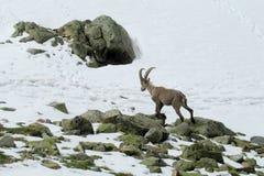 Stambecco alpino nella natura selvaggia sulle rocce e sulla neve Fotografia Stock Libera da Diritti