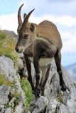 Stambecco alpino selvaggio - ritratto di stambecco delle Alpi Fotografia Stock