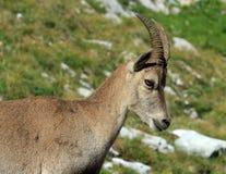 Stambecco alpino selvaggio - ritratto di stambecco delle Alpi Immagini Stock Libere da Diritti