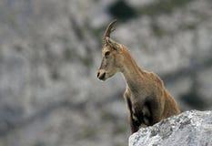 Stambecco alpino selvaggio - stambecco delle Alpi Immagine Stock Libera da Diritti