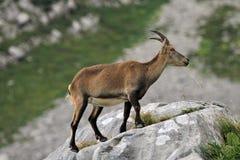Stambecco alpino selvaggio - stambecco delle Alpi Fotografia Stock