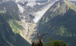 Stambecco alpino sui precedenti di un ghiacciaio nel mas di Mont Blanc Fotografie Stock Libere da Diritti