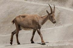Stambecco alpino & x28; Ibex& x29 di capra ibex; Immagine Stock