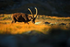 Stambecco, capra ibex, animale alpino con le rocce colorate nel fondo, animale nell'habitat di pietra della natura, bella mattina Immagine Stock Libera da Diritti