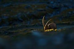 Stambecco, capra ibex, animale alpino con le rocce colorate nel fondo, animale nell'habitat di pietra della natura, bella mattina Immagini Stock