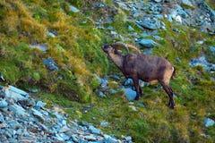 Stambecco, capra ibex, animale alpino con le rocce colorate nel fondo, animale nell'habitat di pietra della natura, Francia del c Immagine Stock