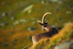 Stambecco, capra ibex, animale alpino con le rocce colorate nel fondo, animale nell'habitat di pietra della natura, Svizzera del  Immagini Stock Libere da Diritti