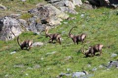 Stambecco dei maschi (capra dello stambecco) Fotografia Stock Libera da Diritti