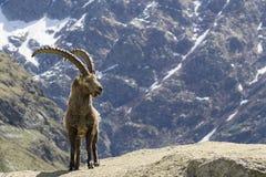 Stambecco delle Alpi Fotografie Stock