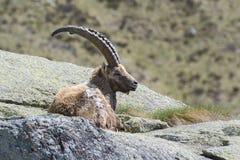 Stambecco delle Alpi Immagini Stock