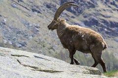 Stambecco delle Alpi Immagine Stock Libera da Diritti