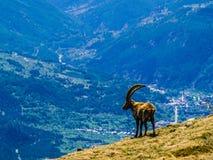 Stambecco delle Alpi adulto Fotografie Stock