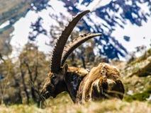 Stambecco delle Alpi adulto Fotografia Stock