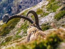 Stambecco delle Alpi adulto Immagine Stock