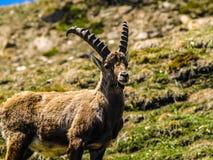 Stambecco delle Alpi adulto piacevole Fotografia Stock