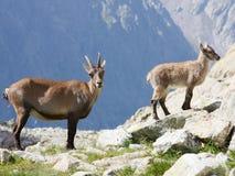 Stambecco delle Alpi alpino femminile con i giovani Fotografia Stock Libera da Diritti