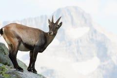 Stambecco delle Alpi alpino femminile su una roccia Fotografia Stock Libera da Diritti
