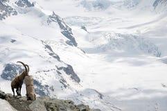 Stambecco delle Alpi alpino sopra il ghiacciaio di Gornergrat Fotografie Stock