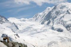 Stambecco delle Alpi alpino sopra il ghiacciaio di Gornergrat Fotografia Stock Libera da Diritti